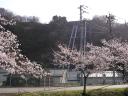 八ツ沢発電所の桜
